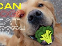 can dogs eat broccoli vegetables