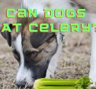 Can Dogs eAt Celery Image